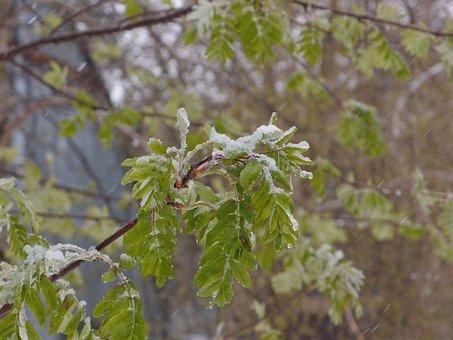 Tree, Rowan, Element, Snow, Weather, Spring, Leaves