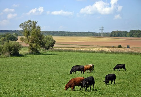 Cattle, Cow, Pasture, Agriculture, Nature, Livestock