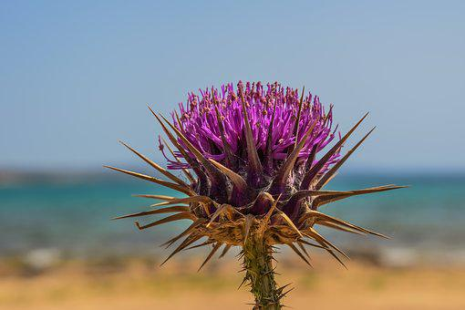 Thistle, Flower, Plant, Nature, Weed, Purple, Blossom