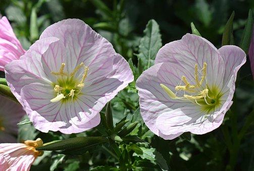 Pink Evening Primrose, Oenothera Speciosa, Flower