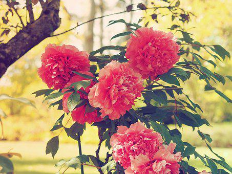 Flowers, Peonies, Pink, Spring, Garden, Red Flower