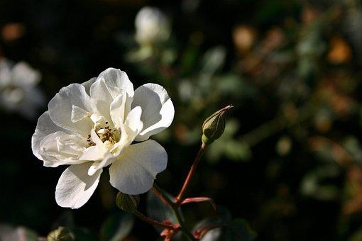 Rose, White, Blossom, Bloom, Flower, Nature, Plant