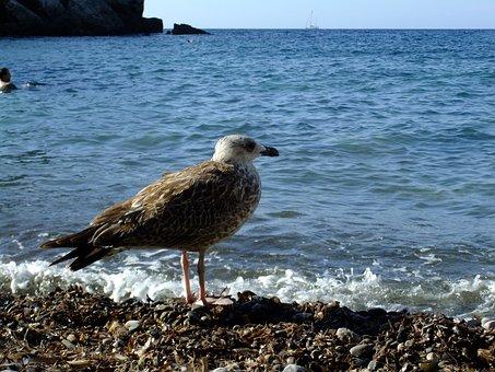Seagull, Beach, Mallorca