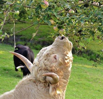 Beef, Cow, Pasture, Graze, Cattle, Shaggy