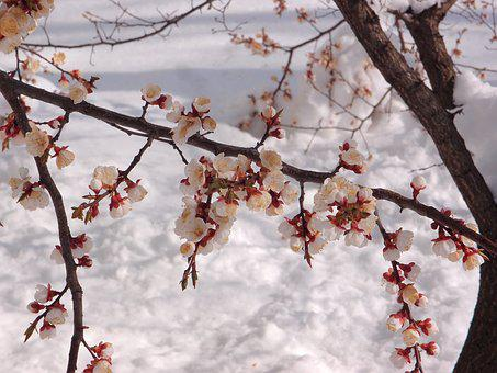 Tree, Apricot, Element, Snow, Weather, Spring, Flowers