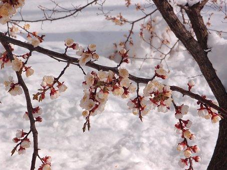 Tree, Apricot, Element, Snow, Weather