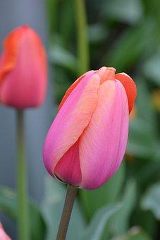 Tulip, Spring Flower, Rose, Blossom, Bloom, Spring