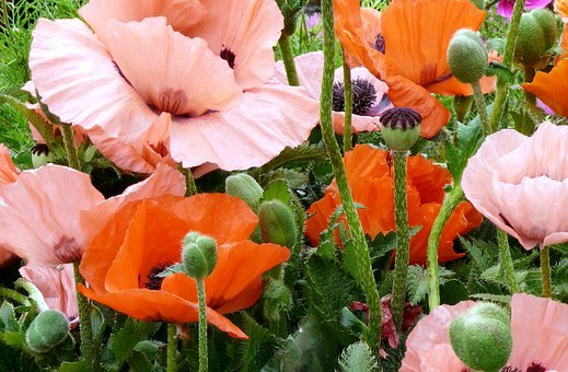 Poppies, Flowers, Garden, Confusion