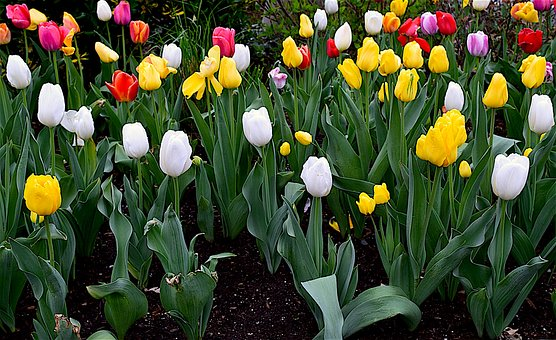 Tulips, Flowers, Blooming, Colorful, Spring, Floral