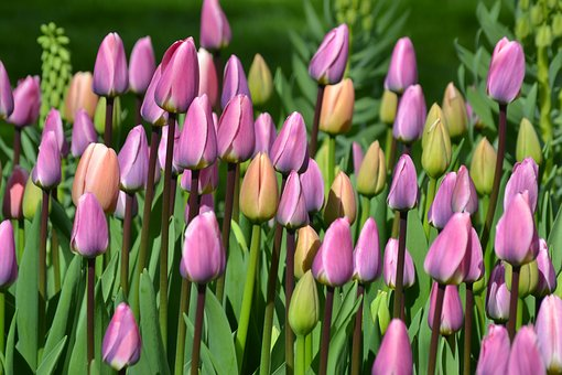 Tulips, Tulip Field, Tulpenbluete, Holland, Flowers