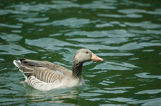 Goose, White-fronted Goose, Bird, Water Bird