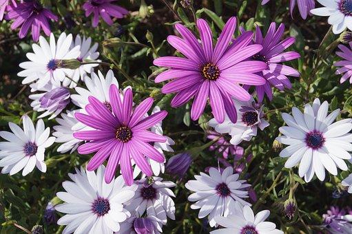 Cosmos, Flower, Violet, White, Purple, Spring, Garden