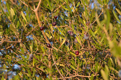 Wild Olive, Crazy Olives, Olive Unvaccinated