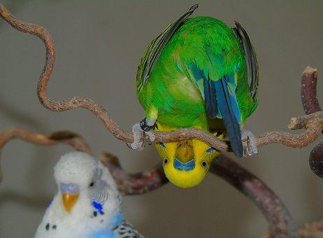 Budgie, Parrot, Bird, Green, Yellow, Natural Color