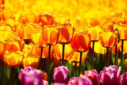 A Collection Of Yellow Tulips, Yellow Tulips