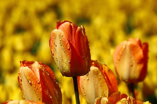 After The Rain, Both Devices Tulip, Red Tulip Yellow