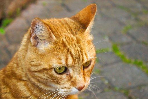 Cat, Roux, Tabby, Feline, Animal