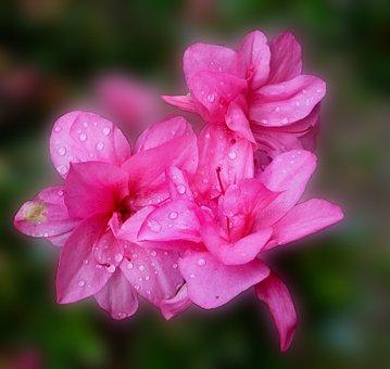Azalea, Blossom, Bloom, Pink, Park, South