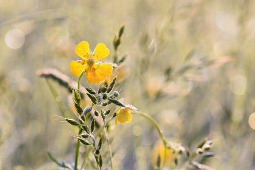 Buttercup, Yellow, Plant, Nature, Meadow, Bloom, Frozen