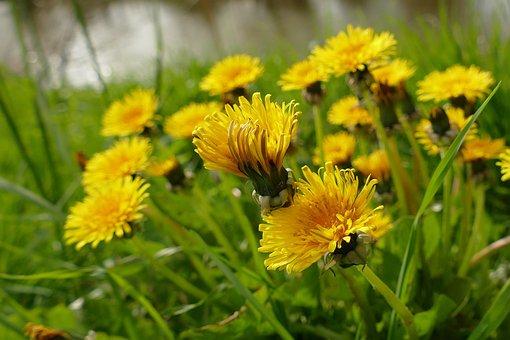 Dandelion, Flower, Yellow, Common Dandelion, Blossom