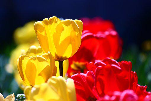 Red-yellow Tulips, Confectionery, Spring, Tulips, Konya