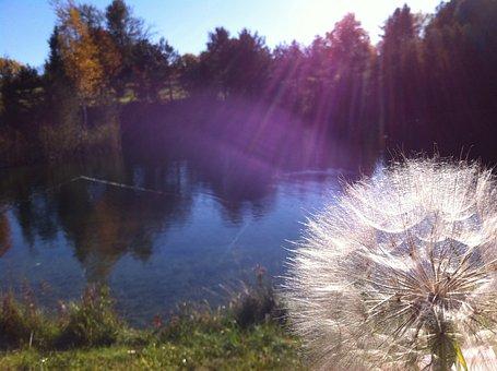 Dandelion, Sun Rays, Nature, Pond