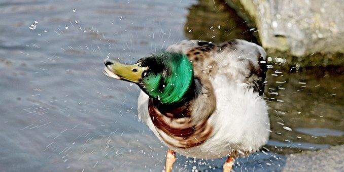 Duck, Inject, Water Splashes, Shake, Pond, Bird