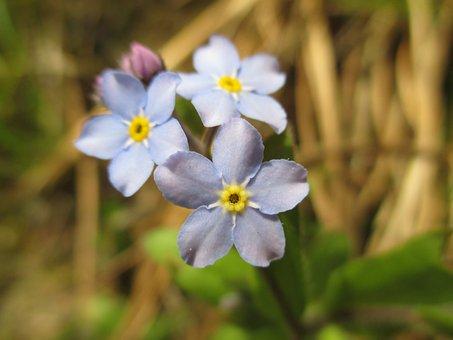 Nots, Field, Flowers Wildflowers, Macro, Blue