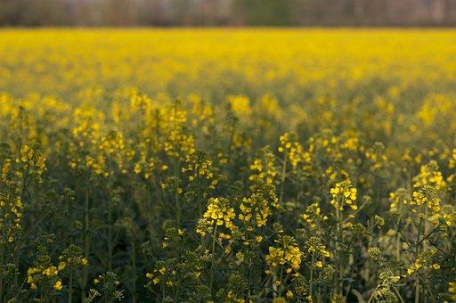 Field Of Rapeseeds, Oilseed Rape, Nature, Landscape