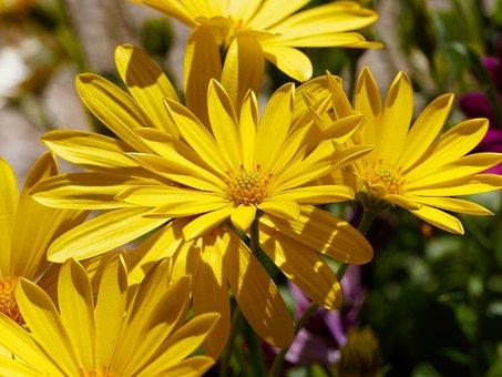 Flowers, Margarita Cape Town, Marguerite