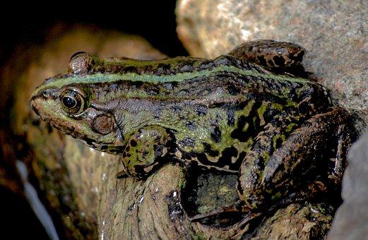 Frog, Nature, Sitting Frog, Frogs, Frog Pond