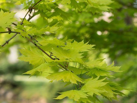 Leaves, Shrub, Maple, Green, Foliage, Tree