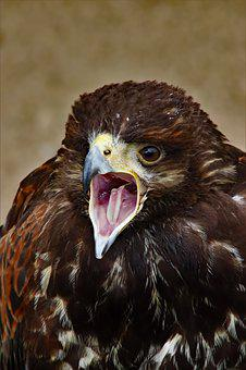 Harris Hawk, Hawk, Harris, Bird, Nature, Predator, Prey