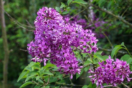 Lilac, Shrub, Spring, Garden, Flower, Nature