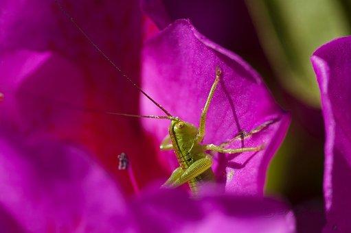 Grasshopper, Green Grasshopper, Insect, Orchard, Macro
