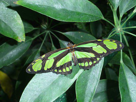 Butterfly, Green, Nature