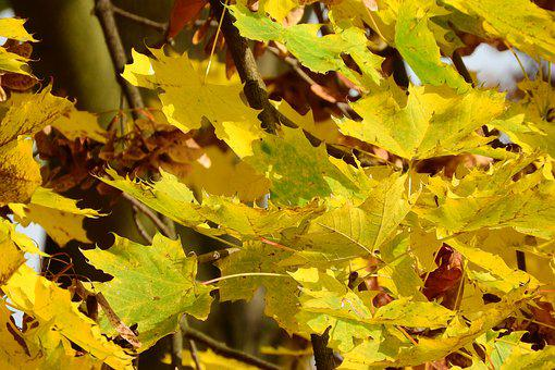 Norway Maple, Maple Leaves, Acer Platanoides