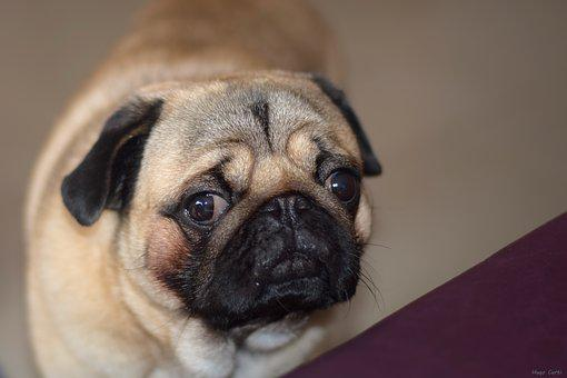 Breed Pug, Dogs, Animals, Pets