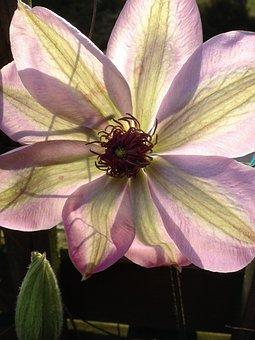 Flower, Clematis, Nature, Summer, Rank Flower, Spring