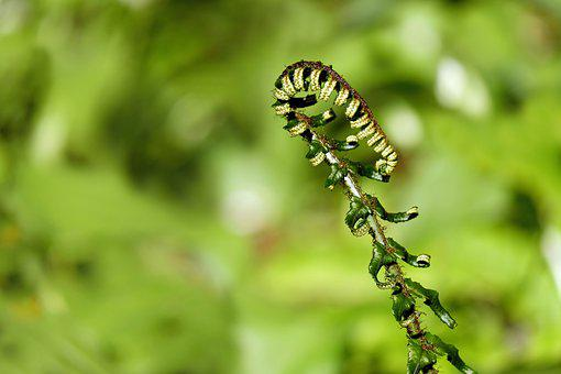 Fern, Young Fern, Fresh Shoots, Rolled Up, Shoots
