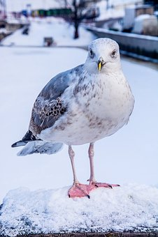Seagull, Snow, Animal, Winter, Cold, Birds, Wintry