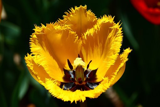 Yellow Tulip, Cut-leaved, Tulips, Spring, Konya