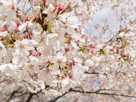 Flowers, Cherry, Spring, Japan