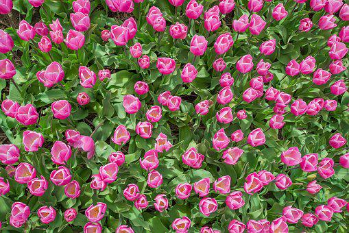 Pink, Tulip, Field, Dutch, Spring, Flower, Nature