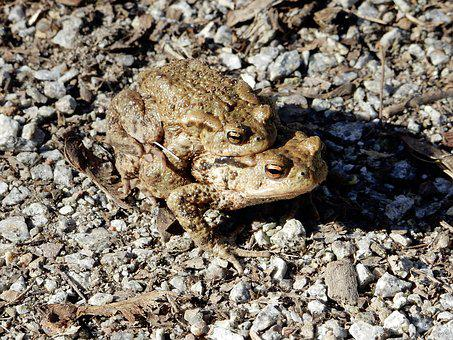 Common Toad, Hike, Pairing, Toad Migration