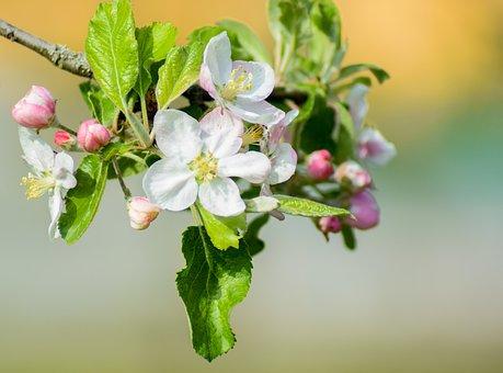 Apple Tree Flowers, Apple Tree, White Blossom