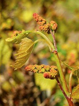 Grape, Fruit, Grapevine, Vine, Winegrowing, Wine