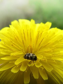 Flower, Dandelion, Beetle, Zigzag, Yellow Flower