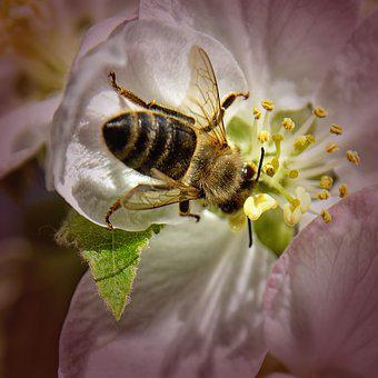 Bee, Apple Tree Blossom, Close, Blossom, Bloom