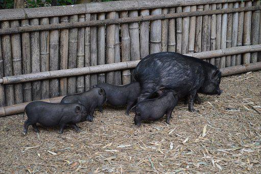 Pig, Black, Pork, Animal, Sow